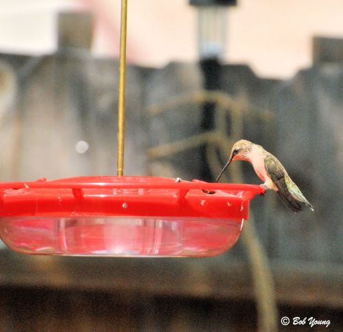 "Black-chinned Hummingbird at the ""old feeder""."