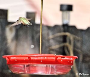 17Aug2013_1b_Backyard-Birds_Hummingbirds_Fly-Away