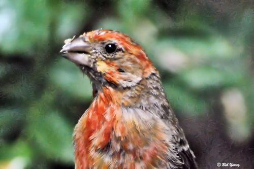 A House Finch at the bird bath. Such vivid colors on this little fellow. We have many of these at our feeders.