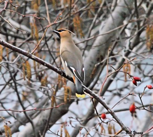 07Mar2014_1e_Greenbelts-Barber_Cedar-Waxwing-Sit-and-Looking