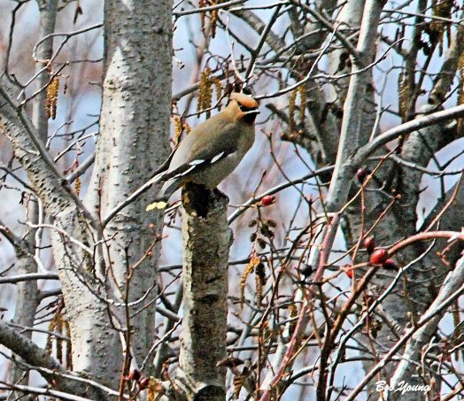 Cedar Waxwing sitting and looking