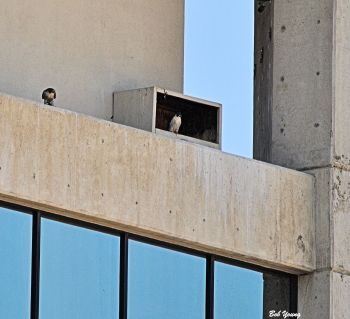 12Mar2014_1_Boise-Falcons_First-Spotting-Downtown