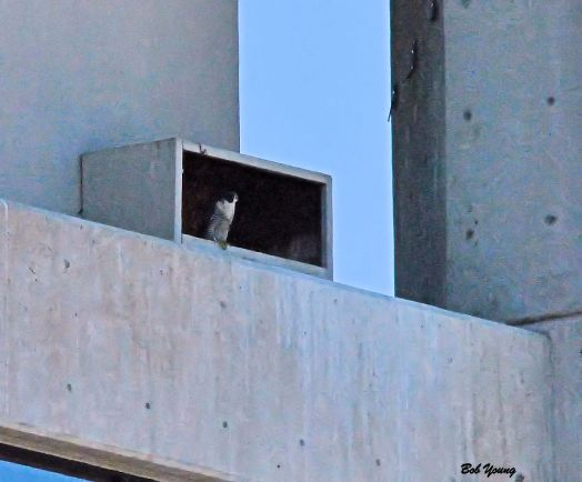 At the nest box. There may be another falcon deep in the box.
