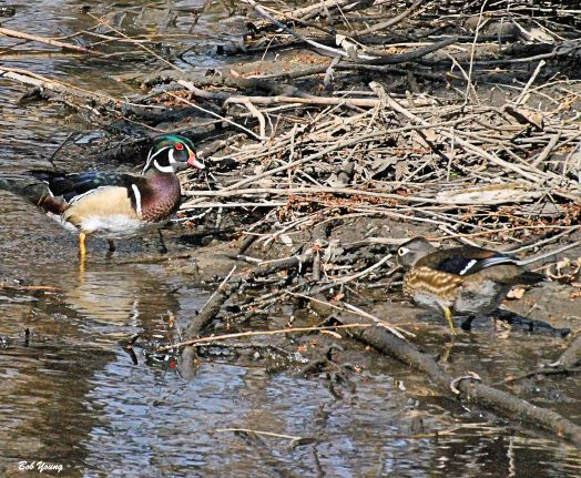 Wood Duck pair. These ducks were on Sandcreek.