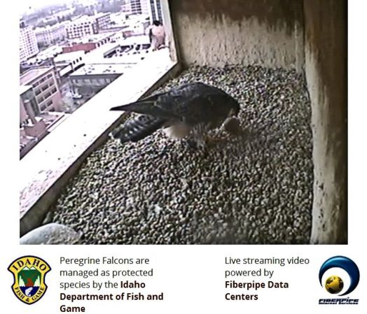 Photo Credit and Used By Permission: The Peregrine Fund, Fiberpipe Data Centers, and Idaho Fish and Game Department