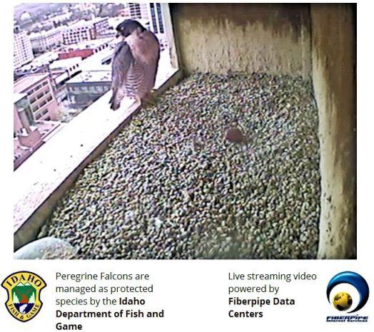Paragon falcon webcam boise id live