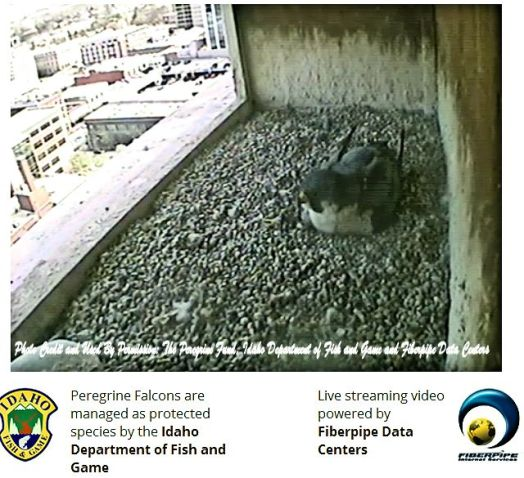 The Boise Downtown Peregrine Falcon nest.