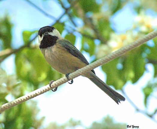 Black-capped Chickadee in our backyard.