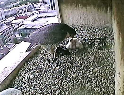 Boise falcon watch team flight of the peregrine for Idaho department of fish and game