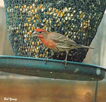 09May2014_1_Backyard-Birds_Rose-Finch