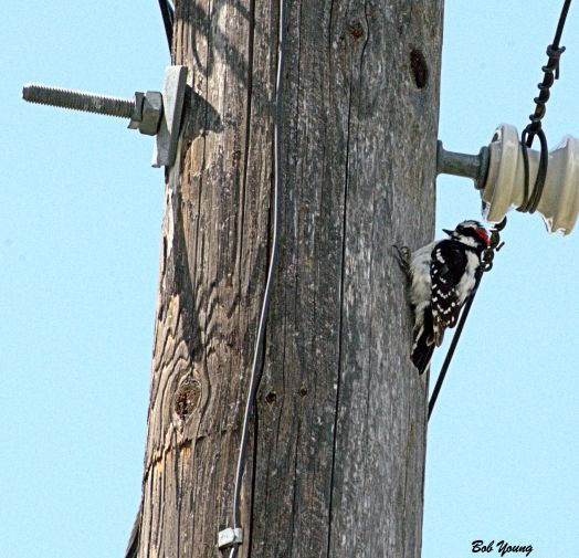 09May2014_1d_Backyard-Birds_Downey-Woodpecker_On-Pole_Good