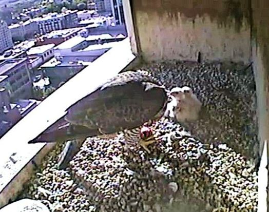 (Used By Permission: The Peregrine Fund, Idaho Department of Fish and Game and Fiberpipe Data Centers)The 4th egg is still barely visible in this shot.