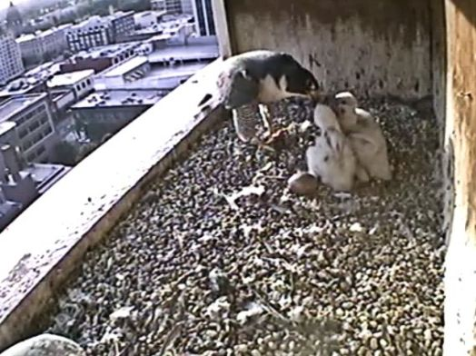 It is feeding time. 0715 this morning. Notice the un-hatched egg.