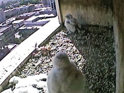 "Here they ""fuzz balls"" were this morning at 0927. It looks like they had just eaten. They are getting huge! (These falcons are growing like weeds. Taken this morning at 0927. (Used By Permission: The Peregrine Fund, Idaho Department of Fish and Game and Fiberpipe Data Centers))"