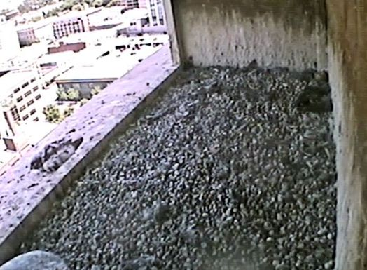 (Used By Permission: The Peregrine Fund, Idaho Department of Fish and Game and Fiberpipe Data Centers) One of the eyasses on the ledge.