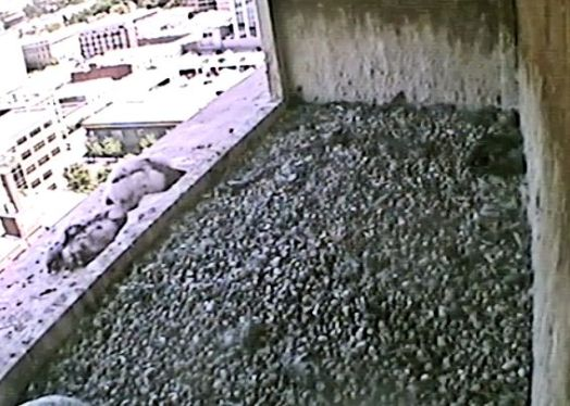 "(Used By Permission: The Peregrine Fund, Idaho Department of Fish and Game and Fiberpipe Data Centers) Two of the ""Fluff Balls"" on the ledge."