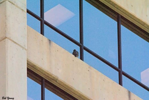 One of the fledglings on the 13th floor ledge, SE corner of the Cap One BUilding.