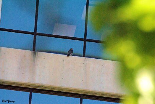 The same falcon as above.