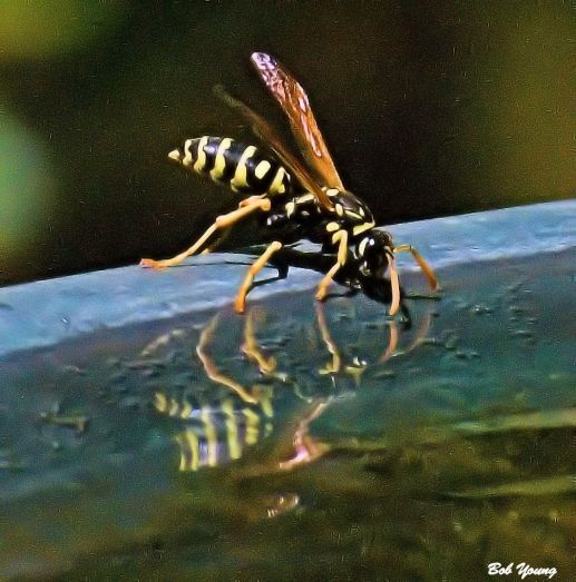 At 98 degrees and 27% humidity, even the bees need water. We try to oblige.