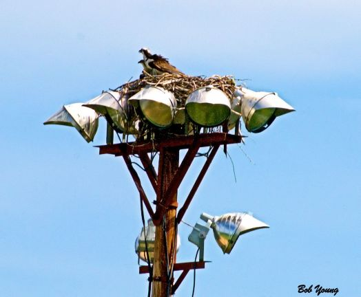 Here are some fledgling Ospreys who have made a territory of the Sports Center right along the Boise Greenbelt.