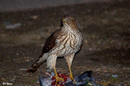 Juvenile Coopers Hawk at 19th and State Streets in Boise tonight.
