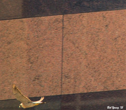 The peregrine that sitting on the ledge in from of the box, took off and flew east past the Wells Fargo Bank building.