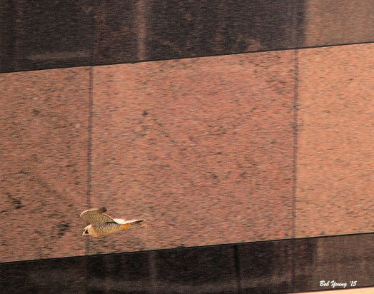 In front of the Wells Fargo Bank building. The same bird as above.