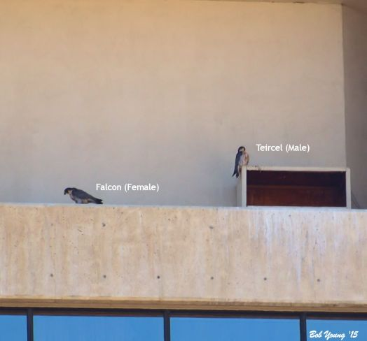 Unless you see the two together, it is difficult to tell which sex they are. The male (tiercel) is generally smaller and a more vibrant plumage. The female (falcon) is much larger. You can see the difference here. The tiercel is on top of the box. The female, on the ledge, is feeding.