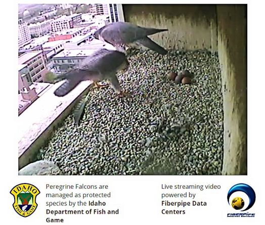 Both parents and 4 eggs! (Used By Permission: The Peregrine Fund, Idaho Department of Fish and Game and Fiberpipe Data Centers)