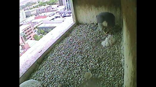 Three Boise Peregrine Falcons chicks feeding. May 6, 2015 1317hrs