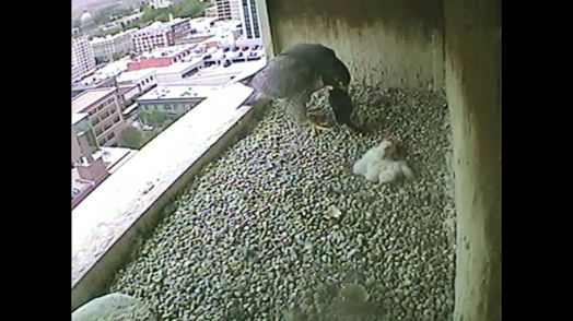 Mom gets some food from Dad and brings it back to the chicks. 0927