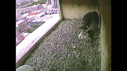 The chicks are being fed. 0941