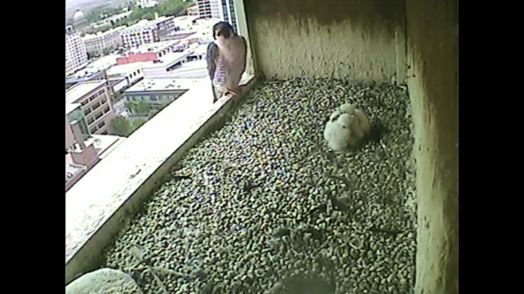The tiercel(?) flies in and looks from the edge of the nest box. The chicks are in a huddle. 0857