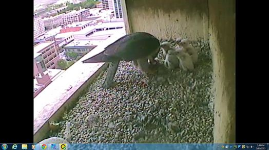 The female is feeding the chicks.