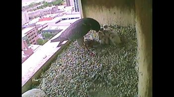 17May2015_1d_Boise-Falcons_Mom-Feeds-1457