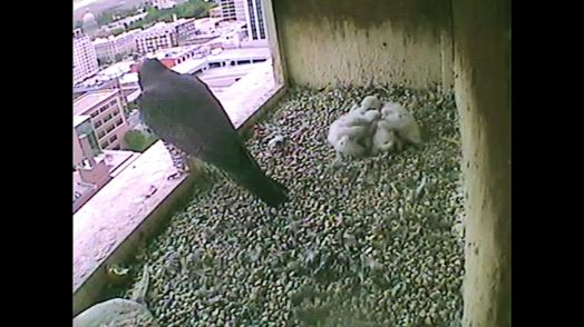 And as the sun slowly settles in the West, the Boise Peregrine Chicks huddle down, close their  eyes and go to sleep.