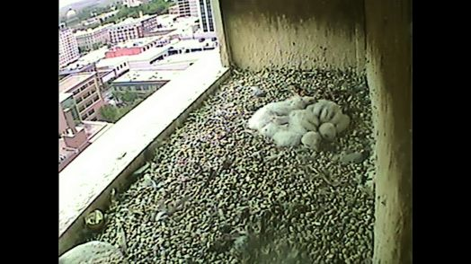 And this morning, 19 May 2015 at 0950, the chicks are sleeping quietly. Raining outside, but comparatively warm. And don't worrfy, at least one adult is very, very close. The chicks are not unguarded.