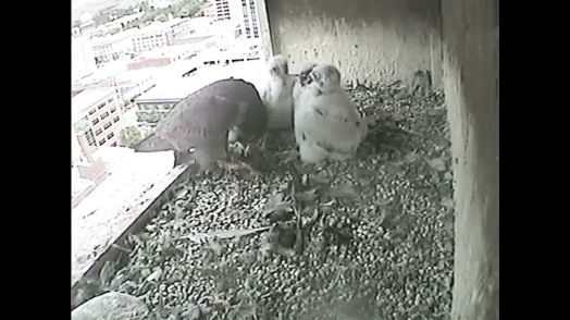 Mom has her hands full with these chicks! 27 May 2015, 1529