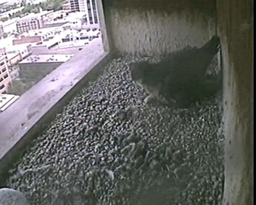 One chick peering out from under Mom. No egg shell visible.