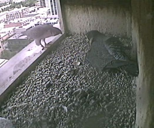 "Tiercel, on edge of box and Female incubating. TYhey are ""talking"" to one another."