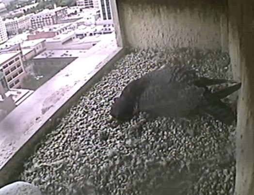 "Mom stretches to get some ""left-overs"" while continuing to keep the chicks warm and the remaining two eggs incubated."